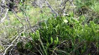 6.03.10. Litchfield National Park, Hoya australis ssp. rupicola, Apocynaceae - Asclepiadoideae