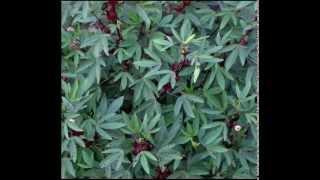 Roselle Herb Health Benefits
