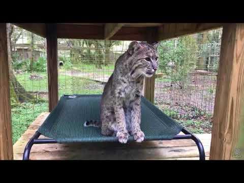 Explore Walkabout Tigers Bobcats Servals Ocelot