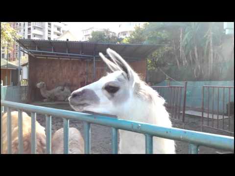 Ламы тоже умеют плевать..смешное видео
