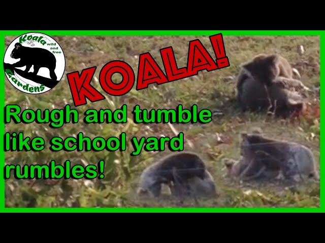 Koalas 🐨 tumbling on the ground like school boys! What a fight, what a noise, up close wow!