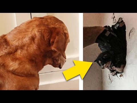 Dog Stares At Wall For Days, So Dad Sets Up A Hidden Camera