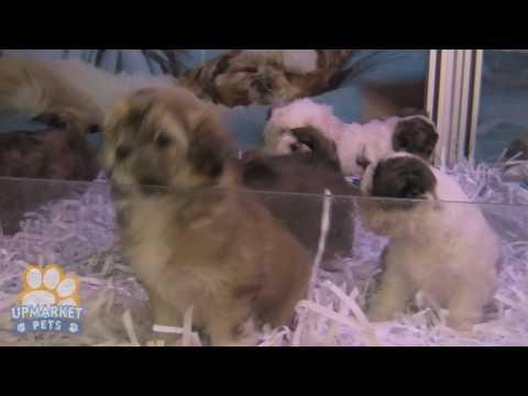 maltese-x-shih-tzu-puppies