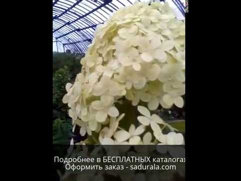 ГОРТЕНЗИИ Питомника Сады Урала - Октябрь 2016