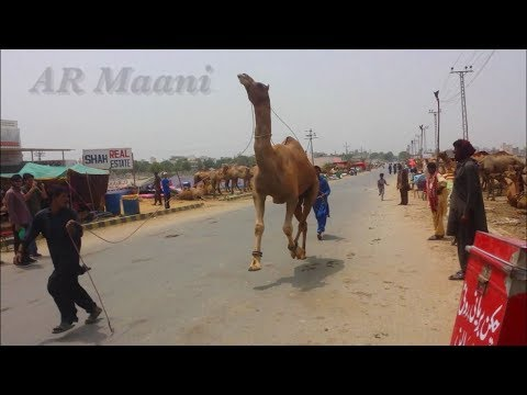 Camel Dancing Video || Trained Camel || Demand 2.5 Lakh || Mandi Videos