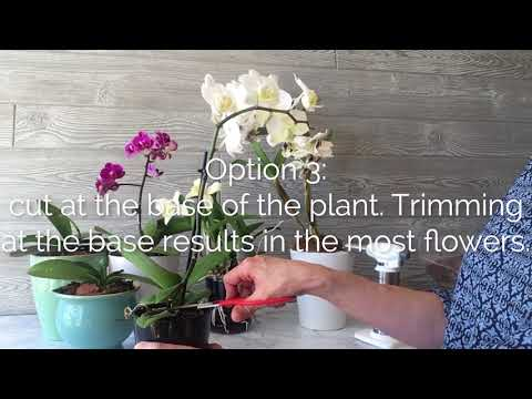Where To Cut The Orchid Flower Spike For More Flowers Orchid Bliss