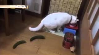 Хозяева пугают котов огурцами ради смешных видео