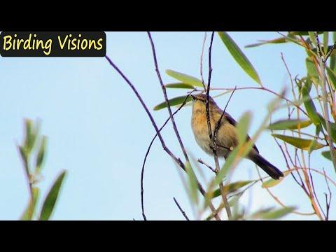 Canary Islands Chiffchaff singing (Phylloscopus canariensis)
