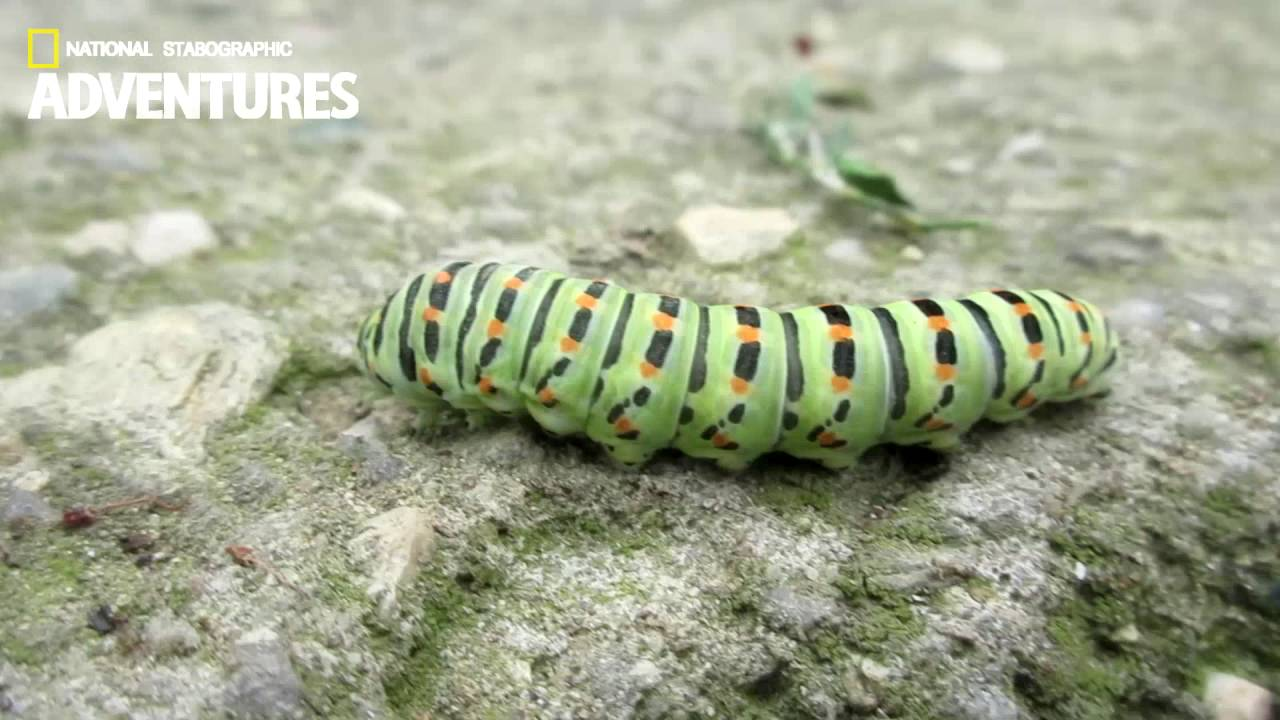 how to get rid of black swallowtail caterpillars