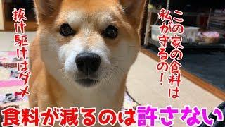夜食で桃を食べてると食料警備隊長の柴犬が尻尾全開で詰め寄ってきた! shiba inu likes a peach