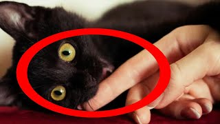 Characteristics and Tips to care a Bombay cat! (Cats 2021)