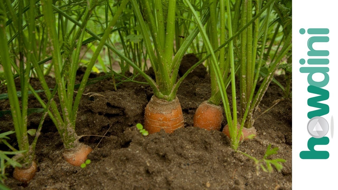 How To Care For Carrot Plants Youtube