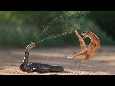 Amazing Snake Python King Cobra Big Battle In The Desert Mongoose | Amazing Attack of Animals