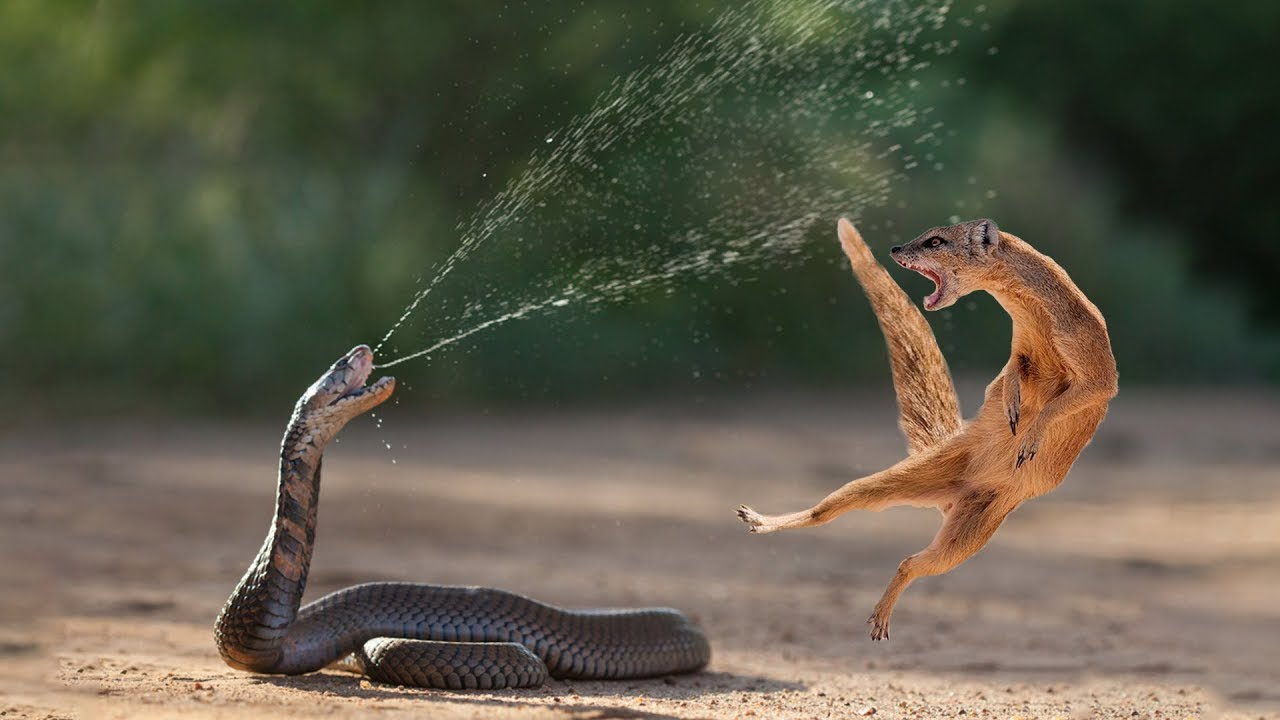 Download Amazing Snake Python King Cobra Big Battle In The Desert Mongoose | Amazing Attack of Animals