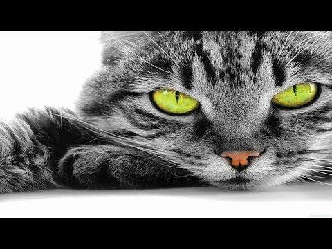 Вопрос: Суматранская кошка или Барханный кот, кто больше?