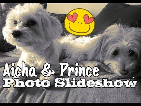 Bichon Maltese Photo Slideshow
