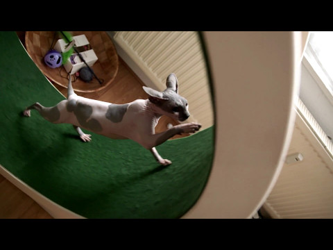Chat Sphynx sur roue à chat / Sphynx cat using Cat wheel - slowmotion