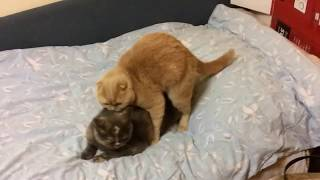 Funny cat screaming while mating