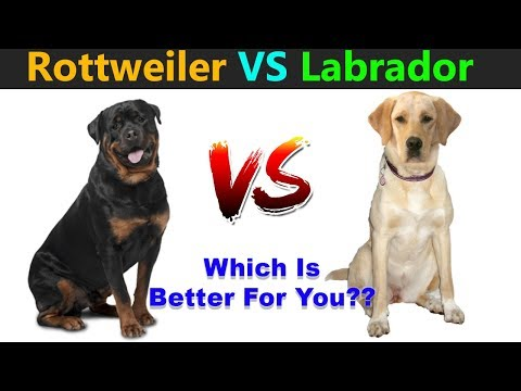 Rottweiler VS Labrador Retriever : Which Is Best For You?? : TUC
