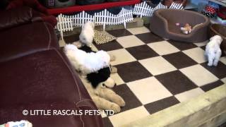 Little Rascals Uk Breeders New Litter Of Poochons - Puppies For Sale 2016