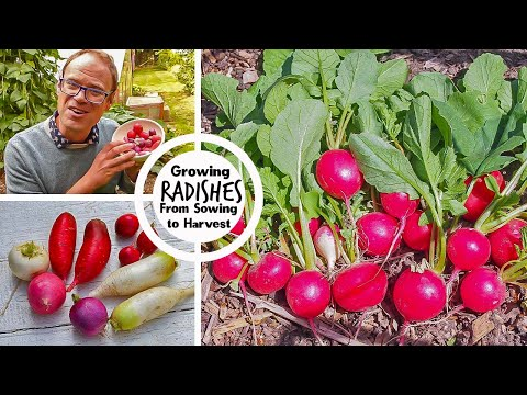 Growing Radishes from Sowing to Harvest