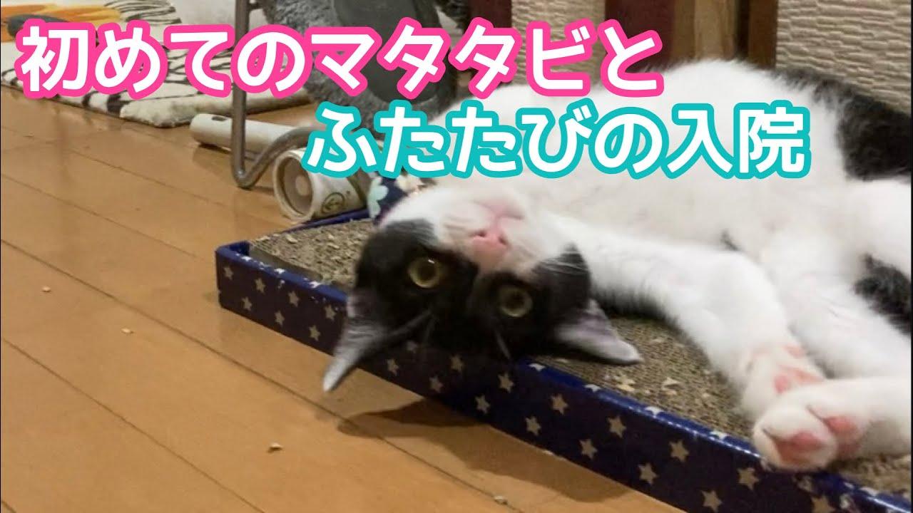 初めてのマタタビに酔いしれる子猫のジンくん〜1泊入院の報告を添えて〜
