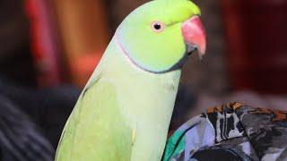 most funny parrots