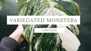 plant unboxing // variegated monstera