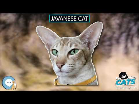 Javanese cat  EVERYTHING CATS