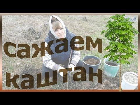 Каштан как сажать сажаем выращивать посадить каштан уход за каштаном огород сад розарий цветник