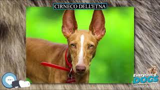 Cirneco dell'Etna  Everything Dog Breeds