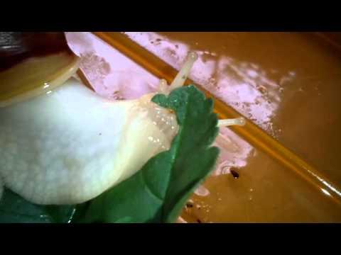 Másolat a következőről: Afrikai óriáscsiga evés közben (Lissachatina Fulica albínó)
