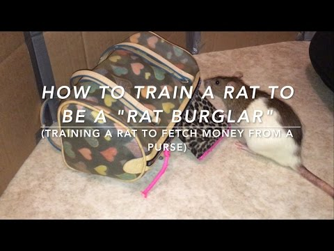 How to Train a Rat to be a 'Rat Burglar' (Training a rat to 'rob' a purse)