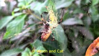 Big spider catching and mummifying a wasp like a boss! NX1 Video