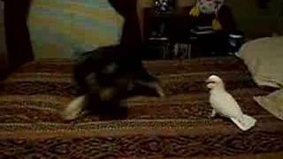 Cockatoo Vs. Schnauzer