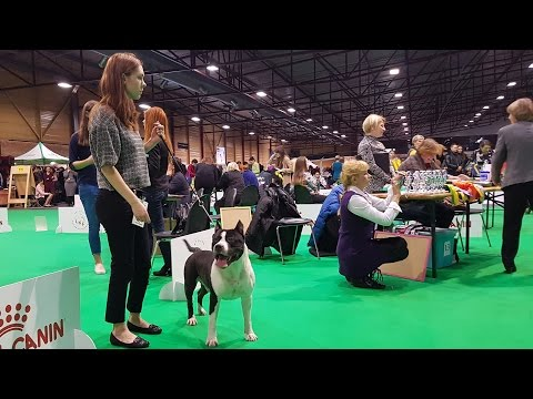 American Staffordshire Terrier. Part 2 of 3. ZooExpo 2016 FCI CACIB Dog Show