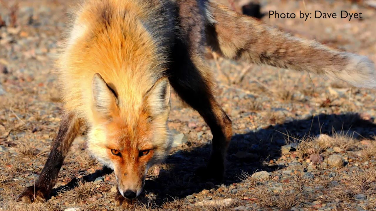How to Get Rid of Foxes - DIY Pest Control