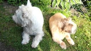 Conny (west Highland White Terrier) Und Rocco (shih-tzu Chiwawa Mix) Im Garten.