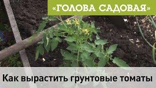 Голова садовая - Как вырастить грунтовые томаты