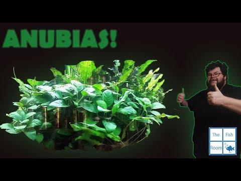 Easy To Keep Aquarium Plant - Anubias nana