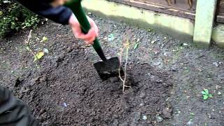 How to Plant a Tree Sapling