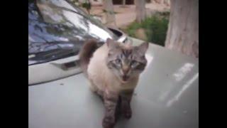 Кошки любят высоту.Кошка сидит на машине.