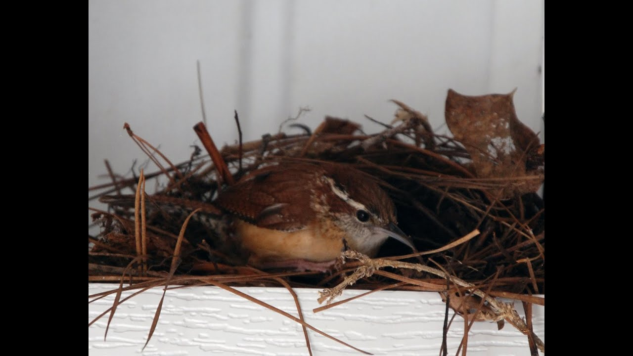 Neighbor's Cat Kills, Eats Baby Birds In Their Nest - YouTube