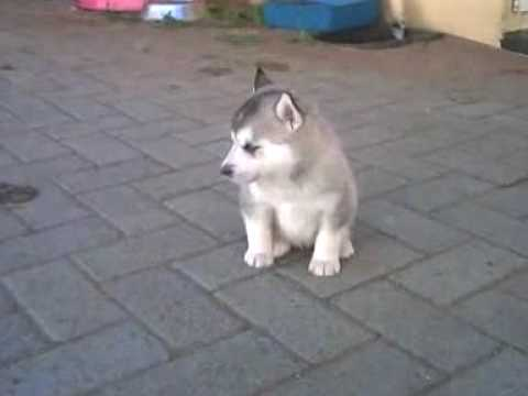 Siberian Husky Puppies At 4 Weeks Youtube