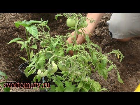 Ранний урожай томатов. Рассада с плодами