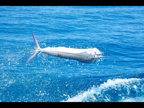 Crazy Sailfish Action At The Ocean Reef Club Reef Cup Tournament