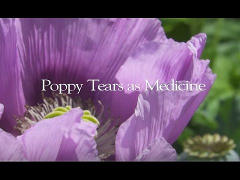 Poppy Medicine | A Deeper look at Opium Poppies