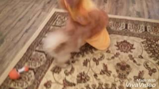 Видео. бой льва со львёнком 😉