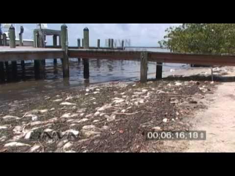 6 18 2005 red tide fish kill 16x9 footage sarasota bay for Tides for fishing sarasota