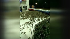 Insane Insect Invasion: Mayflies Wreak Havoc on Bridge Causing Car Crashes